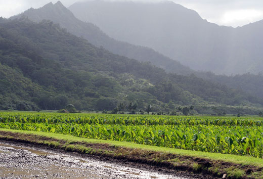 Taro fields in Hanalei valley.
