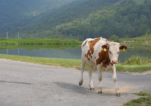 boffalora_cow