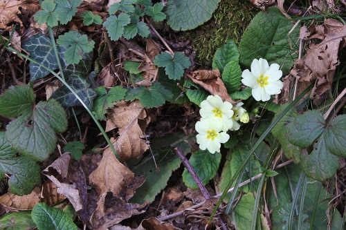 Primulas already out in January