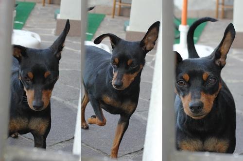 Bella the Zwergpinscher