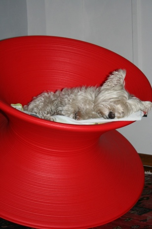 Sleeping Westie on a Spun