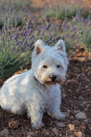 Maddie in lavender field